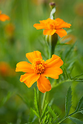 Tagetes erecta 'Orange Sun' - African Marigold