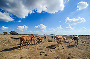 A herd of free grazing horses in a barren landscape