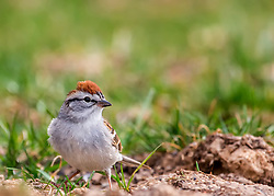 Mr. Chipping Sparrow Says Good Afternoon