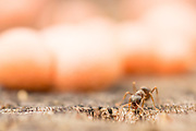 Ant entering nest in tree stump with fungi behind. Surrey, UK.