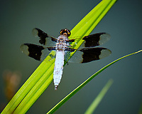 Dragonfly at the Backyard Pond. Image taken with a Fuji X-T2 camera and 100-400 mm OIS lens