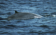 Fin Whale Balaenoptera physalus Length 18-22m Second only in terms of size to Blue Whale. Uniquely, has asymmetrical markings on head. Fast swimmer, catching shoaling fish. Adult has slender body with narrow, pointed head. Body is mainly dark grey, palest on underparts and throat. Right side of lower jaw is whitish (as are front half of right side of baleen plates and tongue) whereas left side is same colour as rest of body. Single median ridge extends from nostril to tip of rostrum. Flippers are relatively long. Dorsal fin is curved, rather large, set a long way back. Tailstock is thick and tail fin is large.