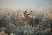 Shira's bull moose on a frosty, foggy, morning during the autumn rut in Wyoming