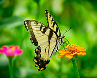 Tiger Swallowtail on a Zinnia Flower. Image taken with a Fuji X-T2 camera and 100-400 mm OIS lens