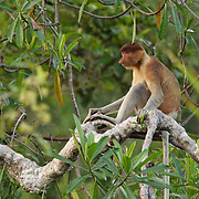 Proboscis monkey in Tanjung Puting National Park. Central Kalimantan region, Borneo.