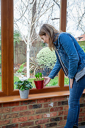 Bringing a hyacinth pot into a conservatory for Christmas. Placing it on a window sill