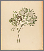 Pavetta caffra [Pavetta lanceolata] (1817) from a collection of ' Drawings of plants collected at Cape Town ' by Clemenz Heinrich, Wehdemann, 1762-1835 Collected and drawn in the Cape Colony, South Africa