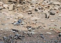 Collared plover, Charadrius collaris, on the shore of the Tarcoles River, Costa Rica