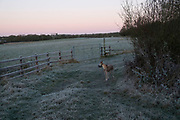 Frosty winter morning greyhound and landscape in Olney, England, United Kingdom. (photo by Mike Kemp/In Pictures via Getty Images)