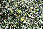 Ripe olives on an Olive Tree
