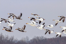 A Flock Of Snow Geese Fly Through Wentzville Skies on a cold March Morning
