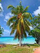 Coconut Palm Tree, Fakarava, Tuamotu Islands, French Polynesia, South Pacific