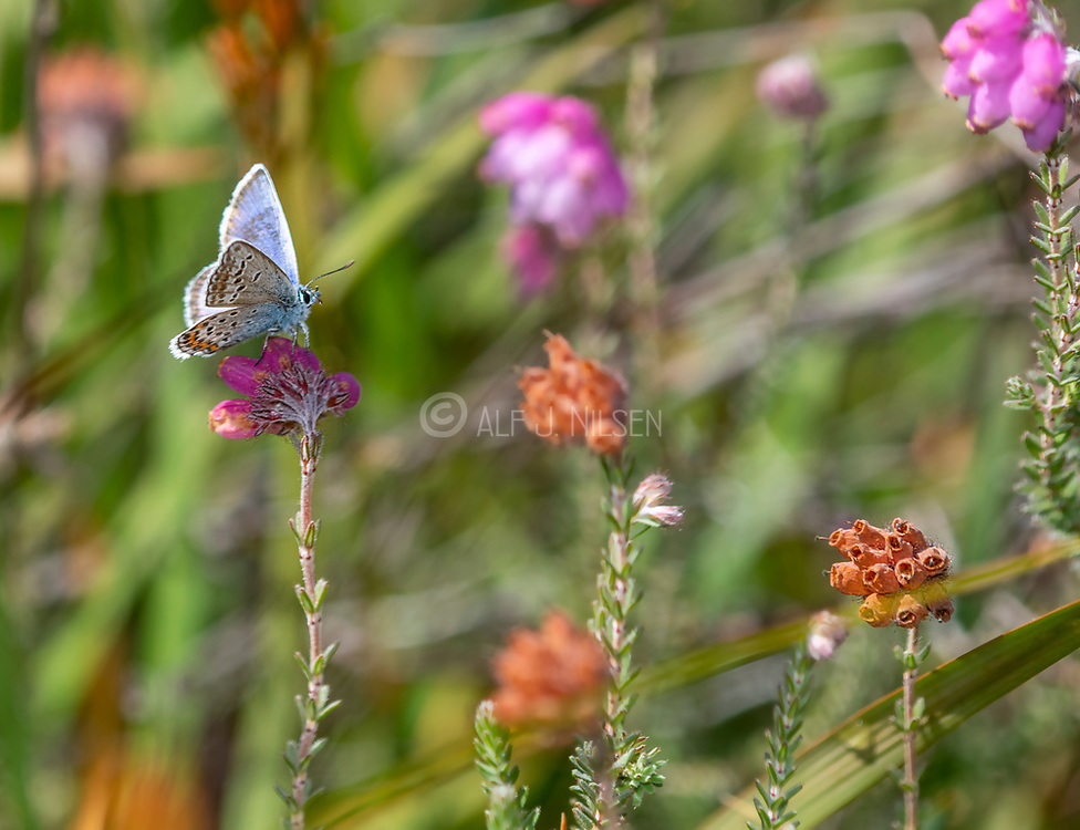 Silver-studded blue (Plebejus argus) on cross-leaved heath (Erica tetralix). Photo from Hidra, south-western Norway in August.