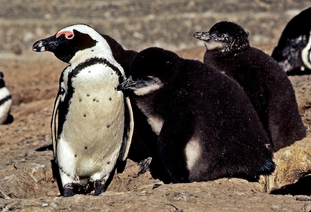 A group of young penguins frolicking by the shore.