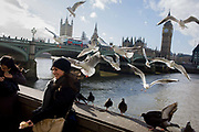 A tourist is surrounded by a flock of greedy gulls hovering above on London's Southbank, opposite the Westminster parliament. Smiling to another person who is taking her photo, the young woman smiles as the birds' wings beat overhead, flocking around her as swarm excitedly in the air above. In the background is the expanse of Westminster Bridge with the Houses of Parliament and the tall clock tower containing the Big Ben bell.