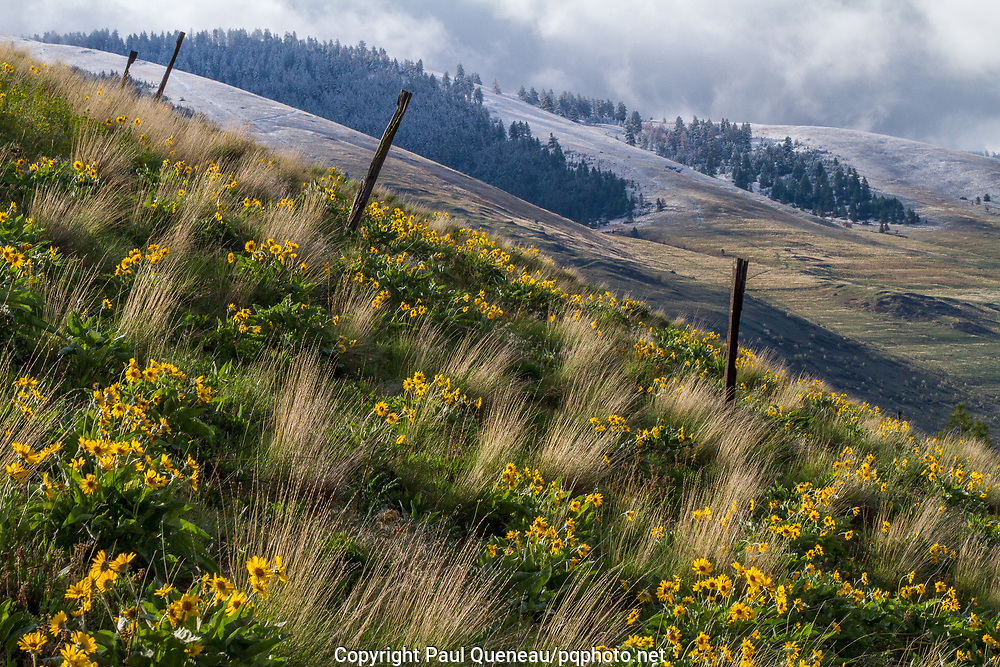 Arrowleaf Balsamroot carpet the side of Waterworks hill after an early storm in Missoula.