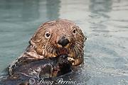 sea otter, Enhydra lutris, eating mussels, Valdez, Alaska ( Prince William Sound ), USA