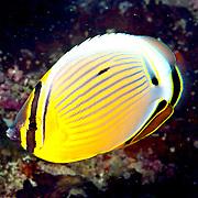 Redfin Butterflyfish inhabit reefs. Picture taken Fiji.