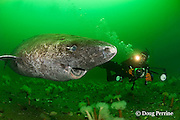 Greenland sleeper shark, Somniosus microcephalus, and photographer, St. Lawrence River estuary, Canada; parasitic copepod, Ommatokoita elongata, attached to eye of shark, (this shark was wild & unrestrained; it was not hooked and tail-roped as in most or all photos from the Arctic)  MR 373