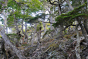 Ancient Guindo, Evergreen Southern Beech (Nothofagus betuloides) trees on the Costera Trail in the Tierra del Fuego National Park. Ushuaia, Tierra del Fuego, Argentina. 25Feb13