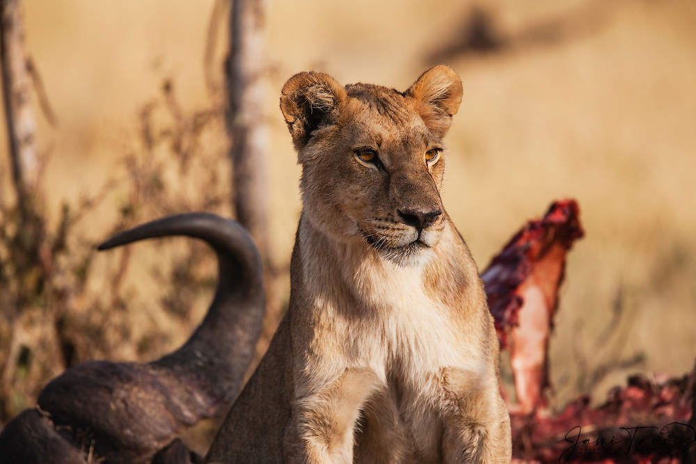 A lioness (Panthera Leo) on a kill, Khwai River, Moremi Game Reserve,Botswana,Africa