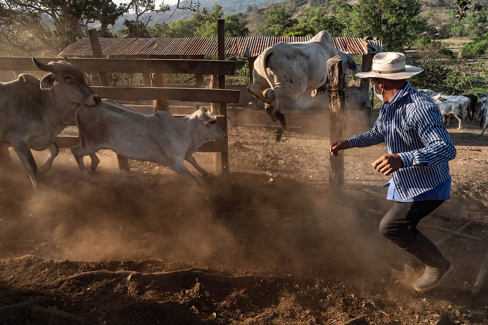 """Jose Enamorado, dodges running cows as they jump a barbwire fence on """"La haciendita"""" farm during their biannual deworming injections on March 13, 2019, in Veracruz, Honduras. Deworming and other preventive medical efforts for the cows is an important factor for keeping them healthy in a climate where sanitation is not the best."""