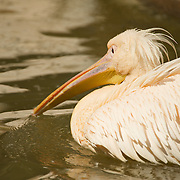 Pelican swimming across the pond.
