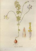 Woodsorrel (Oxalis hirtella). Illustration from 'Oxalis Monographia iconibus illustrata' by Nikolaus Joseph Jacquin (1797-1798). published 1794