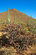 A Staghorn cholla cactus (Opuntia versicolor) in full bloom displays its red flowers against a peak covered in saguaro cacti (Carnegiea gigantea) in Saguaro National Park near Tucson, Arizona.