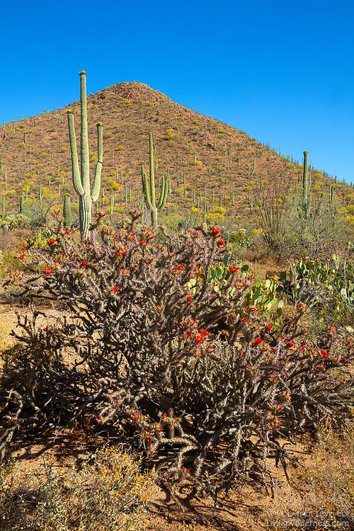 A Staghorn cholla cactus (Opuntia versicolor) in full bloom displays its red flowers against a peak covered in saguaro cacti (Carnegiea gigantea) in Saguaro National Park near Tucson, Arizona.