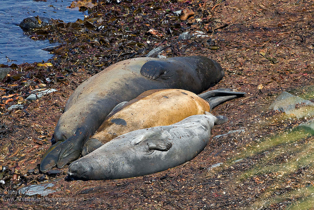 Several southern elephant seals rest in the cooling kelp weed on a secluded beach in the Falkland Islands
