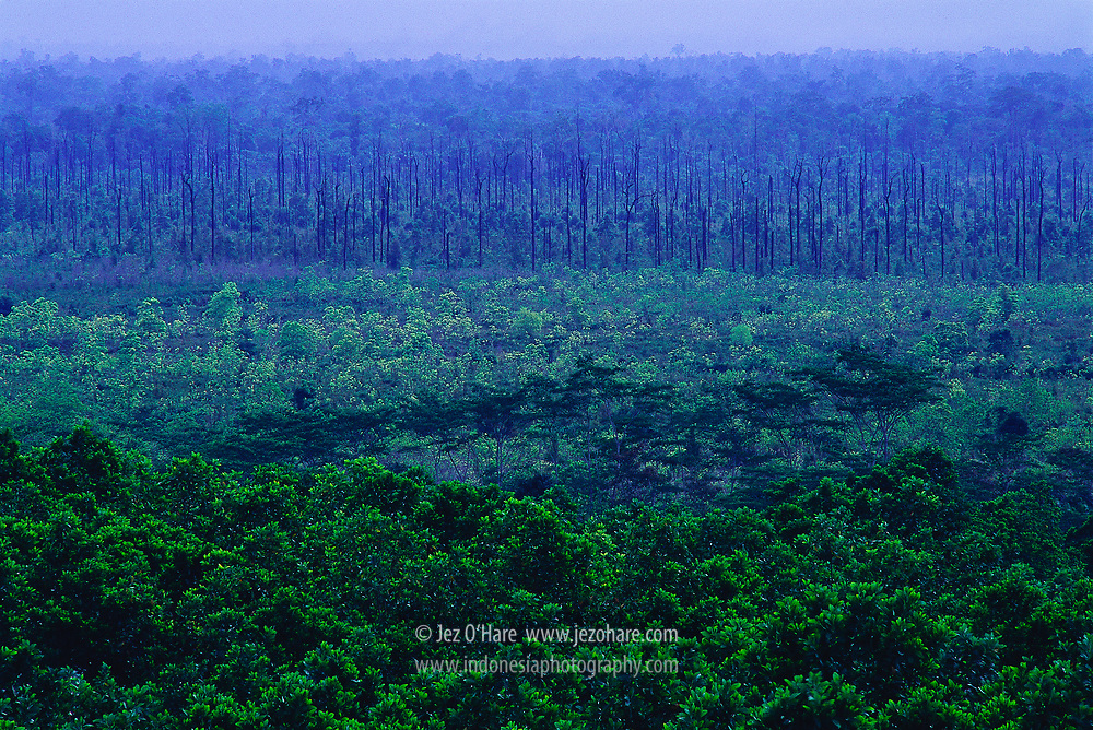 Fast growing trees planted on clear cut equitorial rain forest, East Kalimantan, Indonesia. <br /> <br /> Hutan Tanaman Industri, Kalimantan Timur, Indonesia.