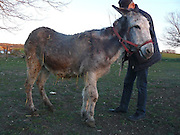 """Donkey Duo Saved From Being Turned Into Sausages On Christmas<br /> <br /> When most people think of donkeys they immediately think of Donkey from the Shrek movies, an association which makes one smile because of the upbeat and optimistic character.<br /> The reality is unfortunately very different, as these animals are usually used only for one thing: carrying heavy loads. They live a sad life filled with hard work, whipping and other forms of abuse.<br /> Unfortunately, in some parts of the world, they are also sadly turned into meat for sausages – usually when they are no longer able to carry heavy loads. Bulgaria is one of the countries where this happens, and this Christmas, two donkeys were miraculously saved from being brutally slaughtered for their meat. They were saved thanks to a sanctuary for abused farm animals where two people work tirelessly to save animals from abuse and violent death and give the care and love they deserve.<br /> <br /> Photo shows:This is Katia The Donkey,She appeared in the ad that announced a """"limping donkey for sale, perfect for slaughter""""<br /> ©Exclusivepix Media"""