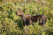 Bull moose with antlers in velvet during summer in Wyoming