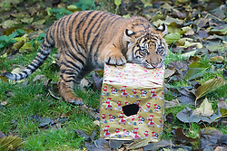 ZSL London Zoo, London, December 15th 2016. Christmas comes ten days early for the Sumatran tiger cubs at at ZSL London Zoo. Mother Melati and her two cubs Achilles and Karis wake up to Christmas presents in their enclosure and the two unruly six-month-old cubs set about opening them. PICTURED: Achilles opens his present.