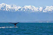 During the 70 year lifespan of a sperm whale, it can travel the entire distance of the Earth!  Each year, it wanders the ocean solitarily for thousands of miles.  Kaikoura, New Zealand