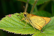 Close-up of a male Large skipper butterfly (Ochlodes sylvanus) resting with closed wings on a bramble leaf in a Norfolk woodland habitat in summer