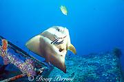 cleaner wrasses, Labroides dimidiatus,<br /> pick parasites off of longfin spadefish <br /> or batfish, Platax teira, <br /> Mabul Island, off Borneo, Sabah, <br /> Malaysia ( Celebes Sea )