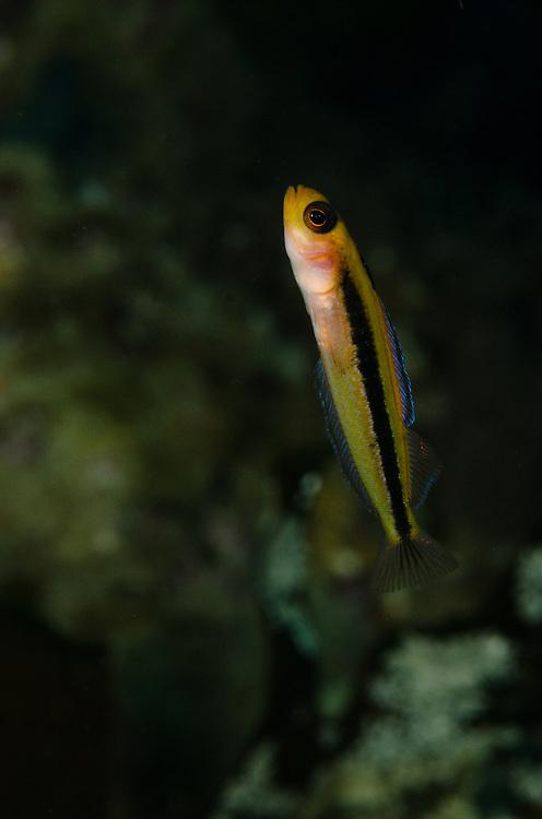 Oblique-swimming triplefin, Forsterygion maryannae