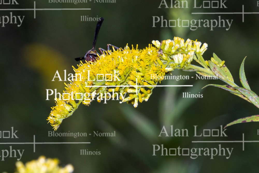 A Great Black Digger Wasp looks for treasures on the bloom of a goldenrod plant