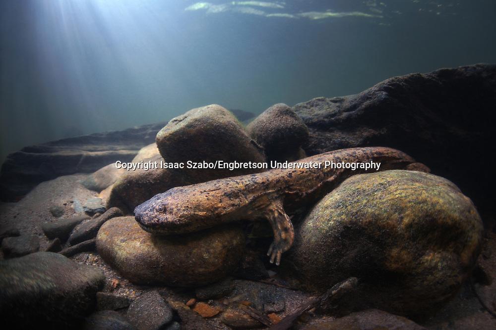 Hellbender Salamander<br /> <br /> Isaac Szabo/Engbretson Underwater Photography