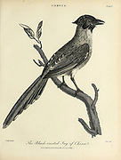 Black-Crested Jay of China Copperplate engraving From the Encyclopaedia Londinensis or, Universal dictionary of arts, sciences, and literature; Volume V;  Edited by Wilkes, John. Published in London in 1810