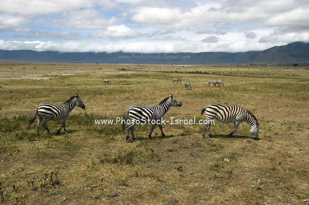 Tanzania A herd of Zebras grazing in the savannah at the Serengeti National Park