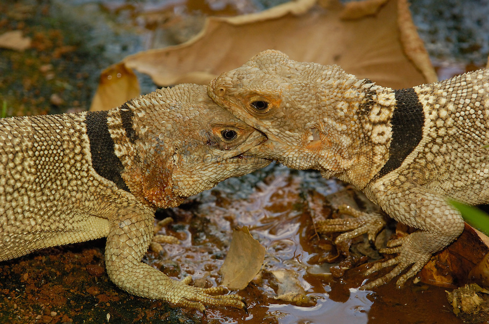 Madagascar spiny tailed lizard (Oplurus cuvieri) males fighting for territory, Ankarafantsika Strict Nature Reserve, Western dry-deciduous forest. MADAGASCAR, endemic