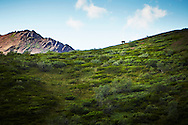 A grizzly sow and two cubs walk down a ridge on the horizon in Denali National Park, Alaska.