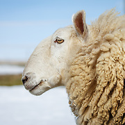 20171220 BR Sheep