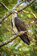 An osprey waits above the Harwich Herring River, before feeding on the alewives swimming upstream.