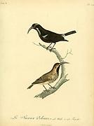Sucrier velours from the Book Histoire naturelle des oiseaux d'Afrique [Natural History of birds of Africa] Volume 6, by Le Vaillant, Francois, 1753-1824; Publish in Paris by Chez J.J. Fuchs, libraire 1808