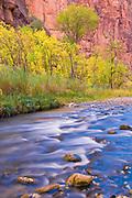 Fall cottonwoods along the Virgin River, Zion National Park, Utah