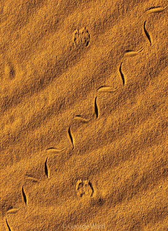 Small Snake and Cottontail Tracks, Mojave National Preserve, California